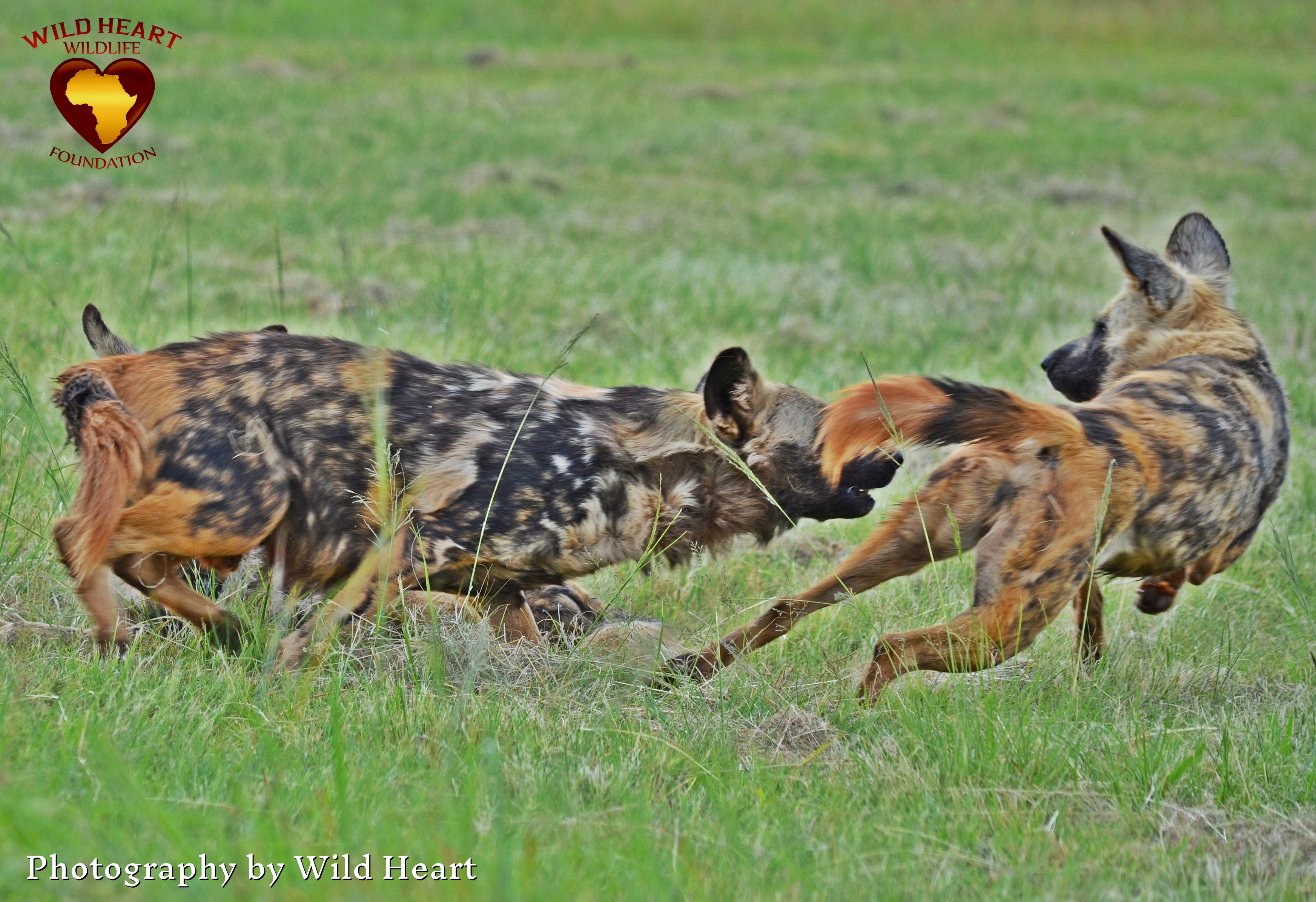 Some San Hunters Will Smear African Wild Dog Bodily Fluids On Their Feet Before A Hunt Believing That Doing So Gift Them With The Animals Boldness