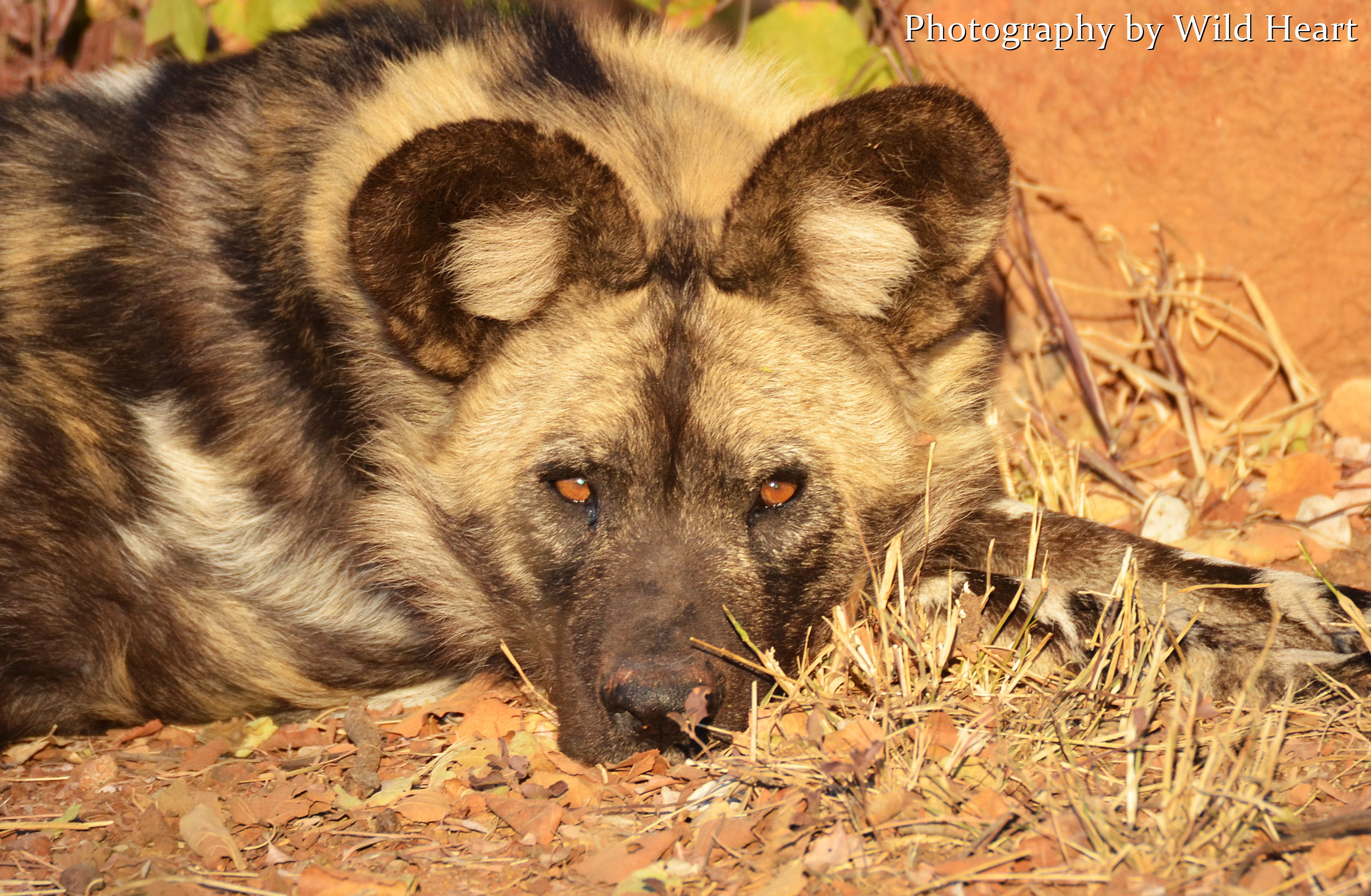 Some san hunters will smear african wild dog bodily fluids on their feet before a hunt believing that doing so will gift them with the animals boldness
