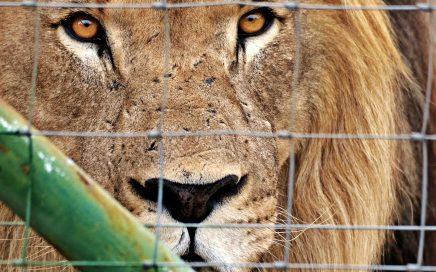 Captive Bred Lions